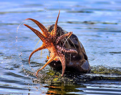 Тюлень против осьминога (10 фото)