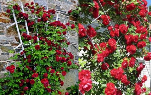 Опора под плетистую розу своими руками фото