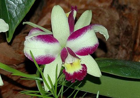 Каттлея (Cattleya)