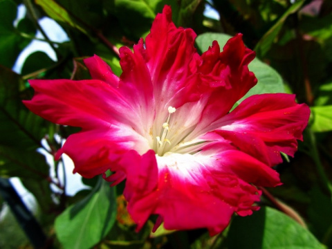 МИР РАСТЕНИЙ. Ипомея – цветок утренней зари