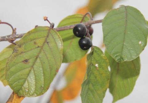 Крушина (волчьи ягоды)
