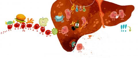 ЗДРАВОТДЕЛ.  Слабый иммунитет? Проверьте печень!