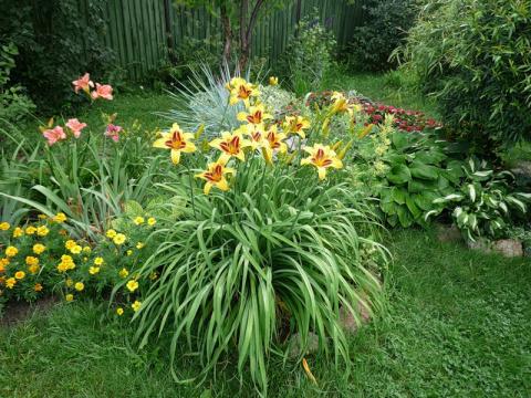 Лилейники в саду : условия посадки и комбинирования