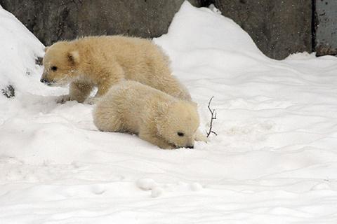 Минутка умиления: белые медвежата впервые вышли из «берлоги» в Московском зоопарке