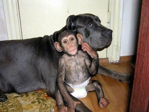 Собака усыновила детёныша  шимпанзе