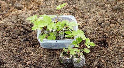 Выращивание земляники из семян в торфяных таблетках