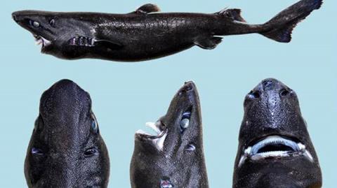 В Тихом океане нашли акулу-ниндзя