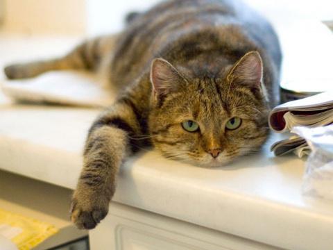 Как понять, что кошка беременна?