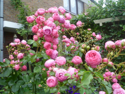 Лучшие сорта красных роз: посадка и уход