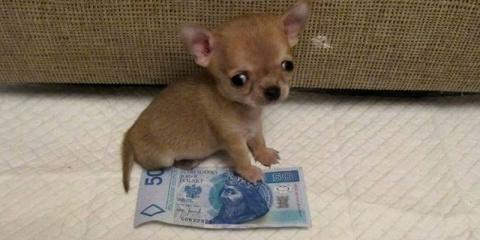 Самая маленькая собачка)