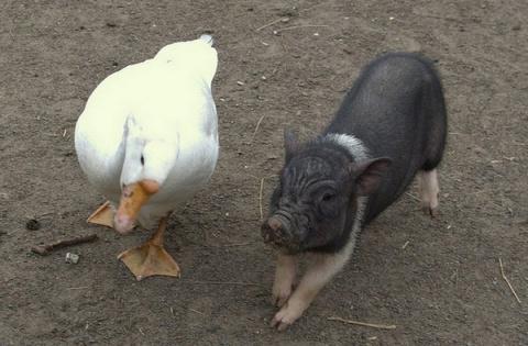 Гусь свинье не товарищ!