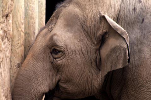 Зоозащитники в США негодуют: в цирках запретят слонов, но не очень скоро