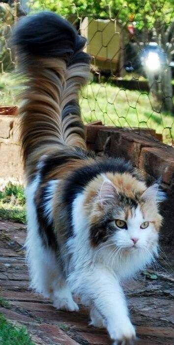 Кошки с невероятно роскошными хвостами. Павлины нервно курят в уголке!
