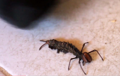 Очень странное насекомое - видео