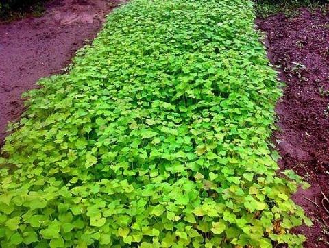 Удобрение для почвы. Сидерат…