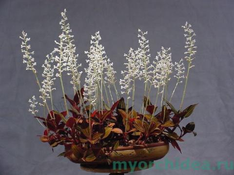 Драгоценная орхидея Лудизия