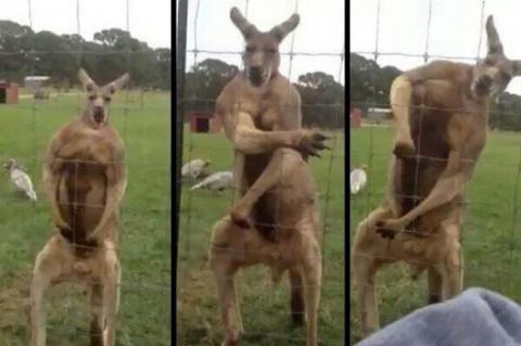 Австралийские животные