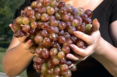 Сорта винограда с самыми крупными гроздями