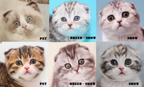 КОШКИН ДОМ. Породистые котята - стандарты породы, классы, стоимость