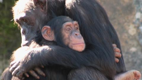 Шимпанзе, как люди, строят д…