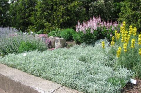 Посеребрим сад? Какой сорт полыни сможет украсить ваш участок