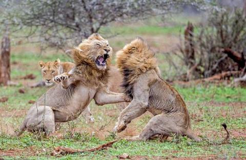 Схватка львов из-за самки