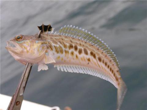 Морская рыбка, названная «Морским драконом», способна погубить отдых купающимся