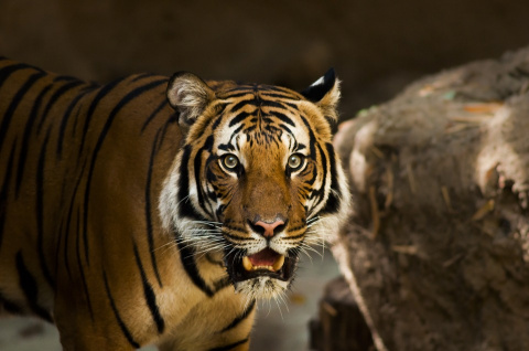 В Приморском крае в автомобиле найдены кости амурского тигра