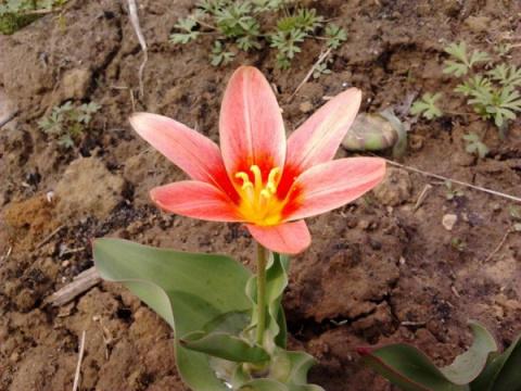 Растаял снег – пора кормить тюльпаны
