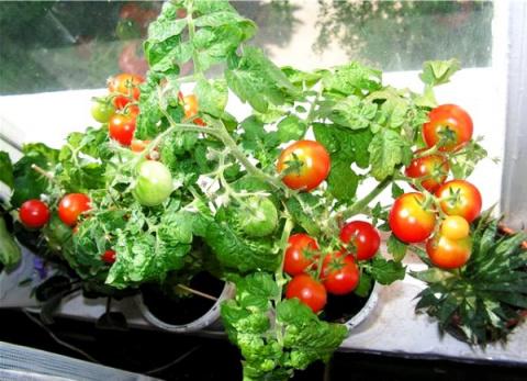 Сажаем комнатные помидоры