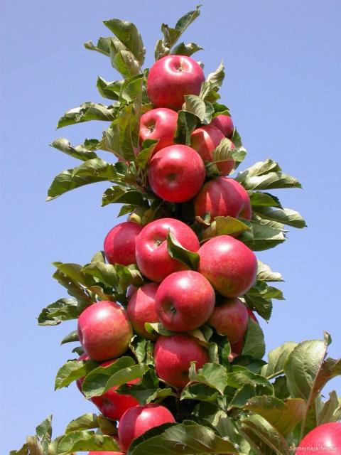 Чем отличается колонновидная яблоня от обычной