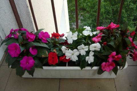 Выращивание петунии в контейнере