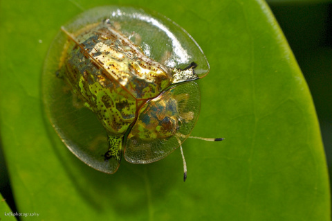 Необычный жук Золотая Черепа…