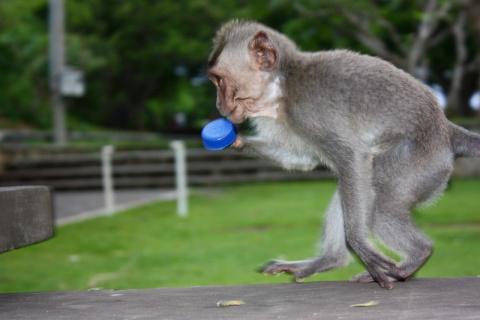 Макаки-вороваки и другие обезьяньи шалости