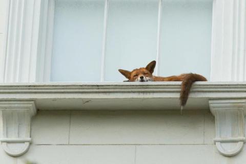 Спящая на подоконнике лиса удивила прохожих