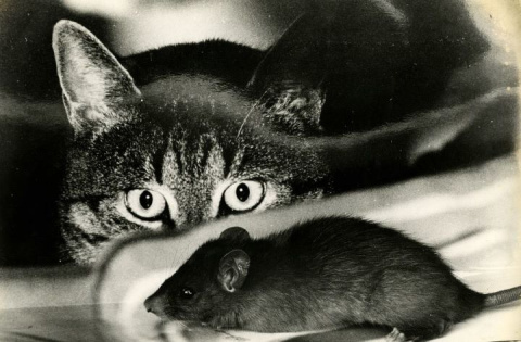 Как дед кота учил крыс ловить
