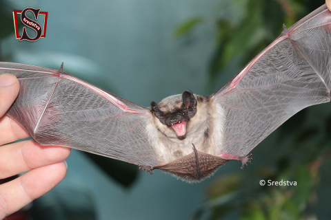 крыло летучей мыши, летучая мышка на балконе, летучая мышь в москве, летучая мышь спреди, летучая мышь сзади, летучая мышь зубы, как шипит летучая мышь, где живут летучие мыши