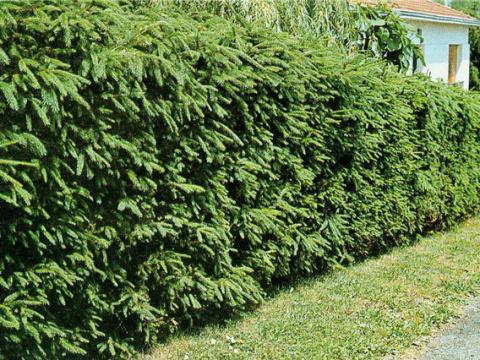 Еловые зеленые изгороди на даче: и красота и польза