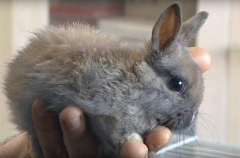 В Челябинске живет возможно самый маленький кролик в мире