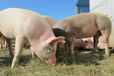 Свиные органы начнут пересаж…