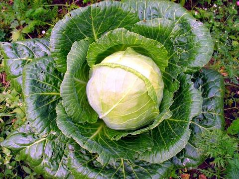 Лучшие сорта капусты, которые стоит посадить в этом сезоне