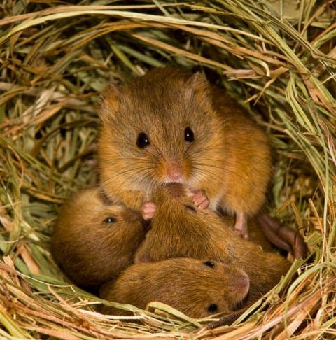 Кто живет рядом с нами: фото милых мышат