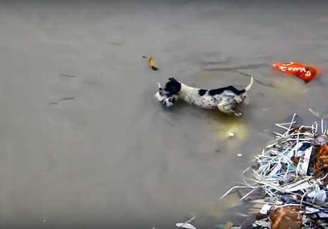 Собака спасает щенков во время наводнения