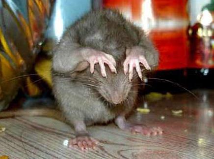 19 доказательств того, что нет никого хуже крыс