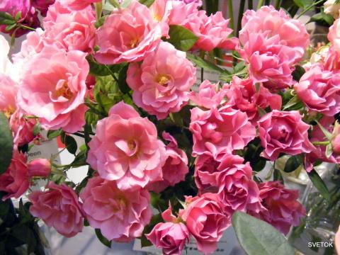 Розы из Японии