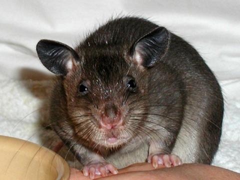Смышлённый крысёныш (видео)