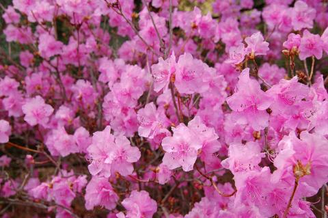 «Розовое дерево». Как вырастить рододендрон?