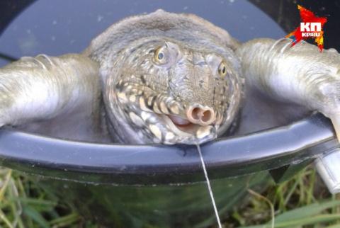 На Урале рыбаки поймали на водохранилище хищную черепаху