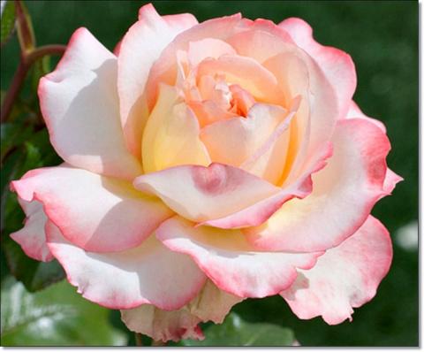 Выбор романтиков. Вся гамма розовых оттенков роз для вашего сада