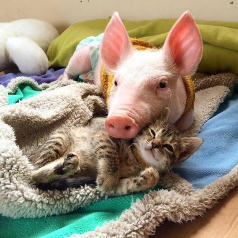 Спасенный поросенок Лаура подружился с котенком Мариной